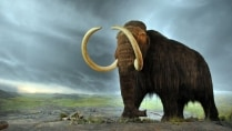 Bringing the Woolly Mammoth back