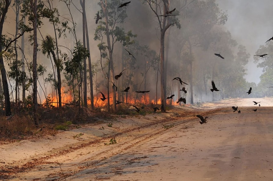 Birds start Forest Fire in Australia