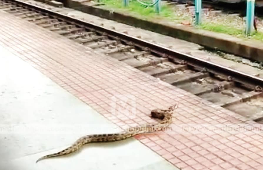 python escaped from Railway track injured Shornur junction